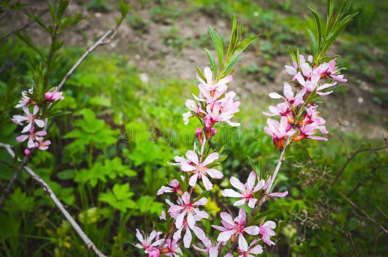 Árbol de almendra en la floración Flores rosadas brillantes imagen de archivo