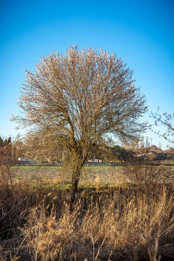 Árbol de almendra en la floración en primavera fotografía de archivo libre de regalías