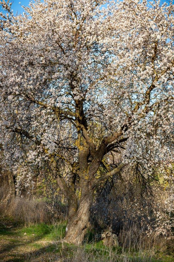 Árbol de almendra en la floración en primavera imágenes de archivo libres de regalías