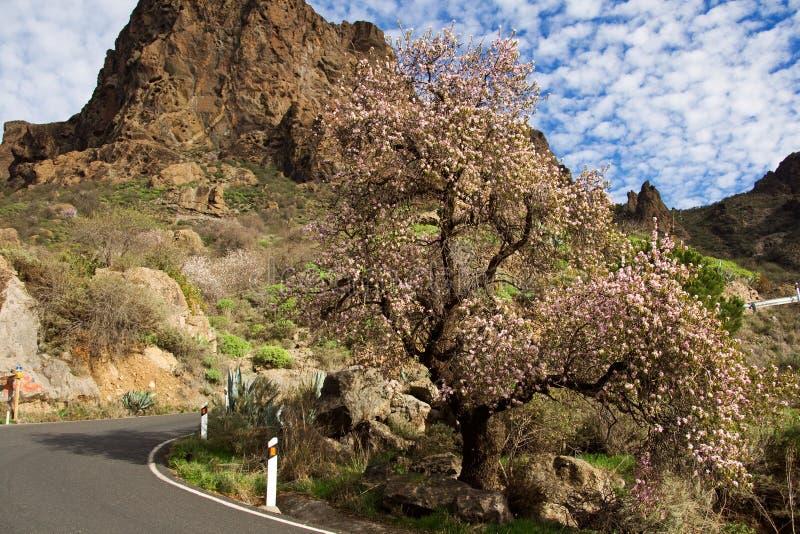 Árbol de almendra en montaña amarilla imagen de archivo libre de regalías