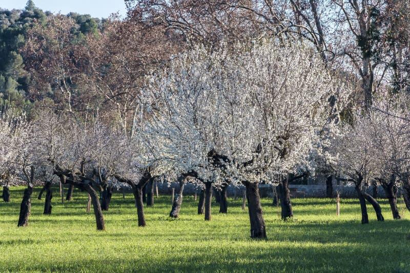 Árbol de almendra floreciente imagen de archivo libre de regalías