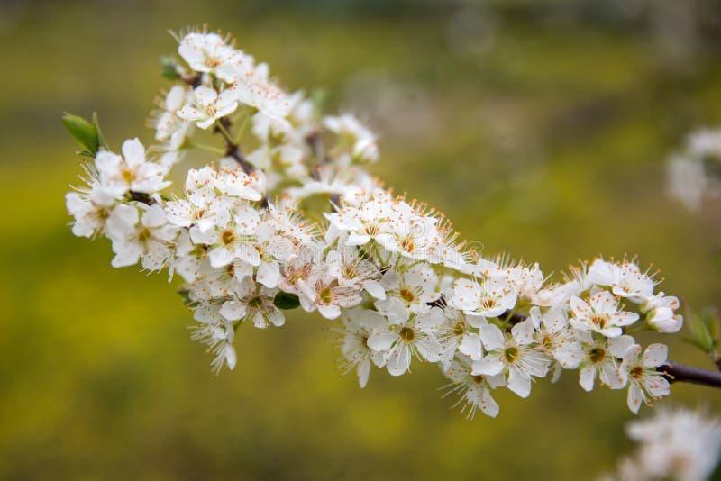 Árbol de almendra floreciente en primavera imágenes de archivo libres de regalías