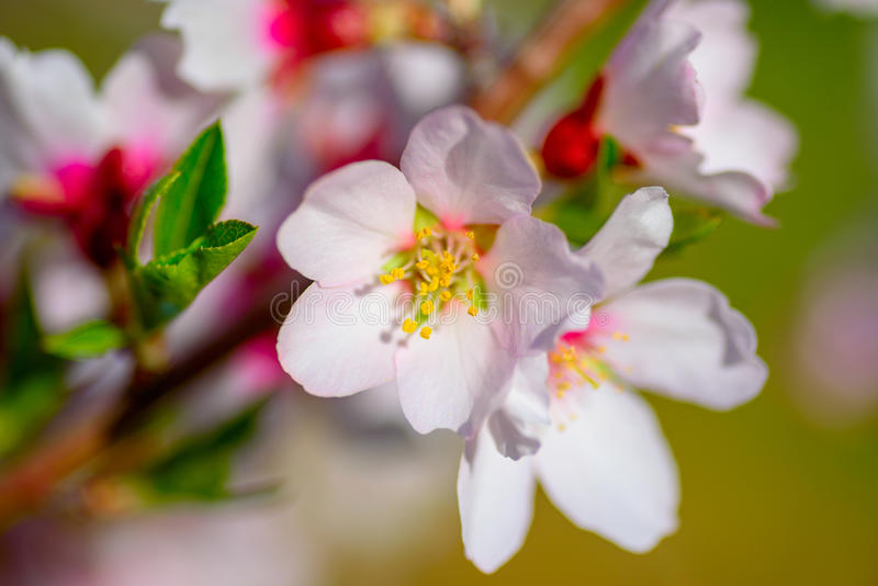 Árbol de almendra floreciente hermoso con las flores rosadas blancas fotos de archivo