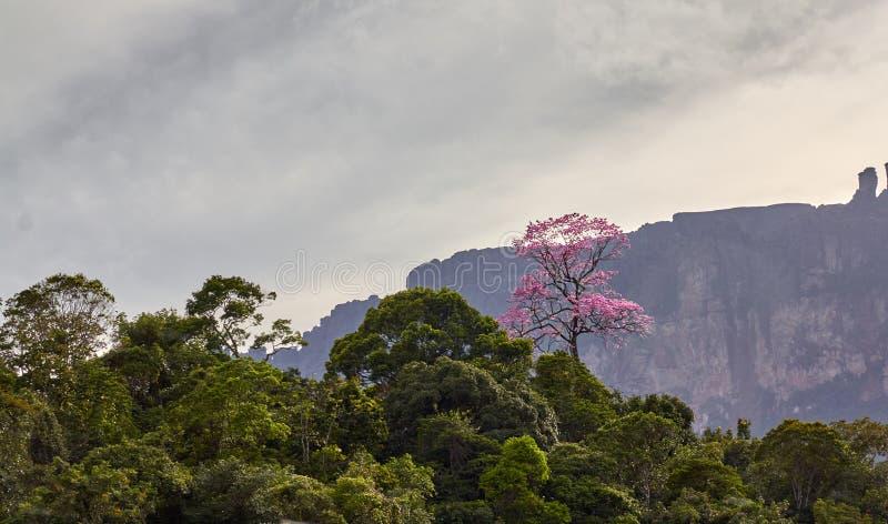 Árbol de Apamate en selva amazónica imágenes de archivo libres de regalías
