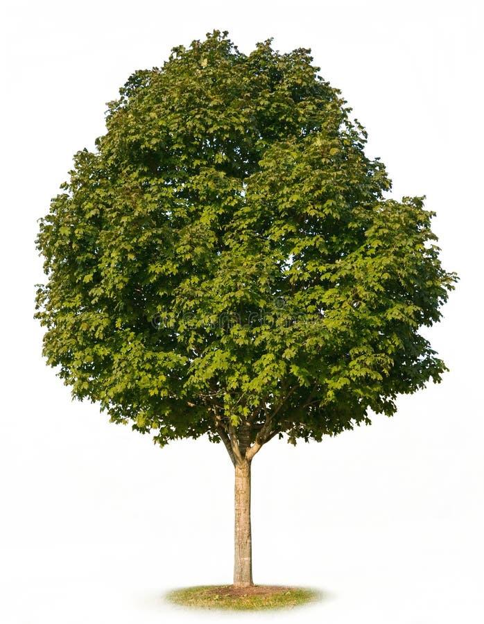 Árbol de arce aislado foto de archivo