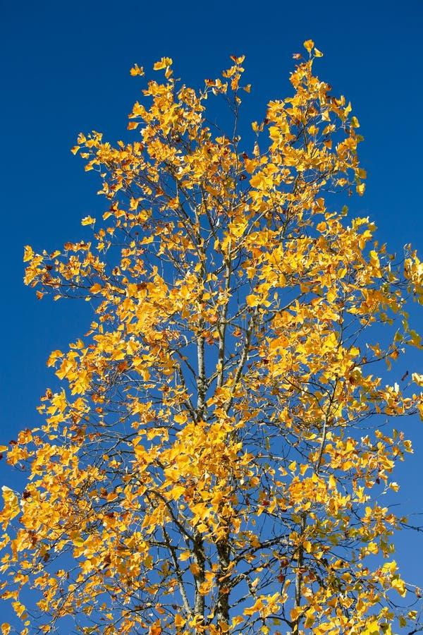 Árbol de arce con las hojas de la naranja contra el cielo azul fotografía de archivo libre de regalías