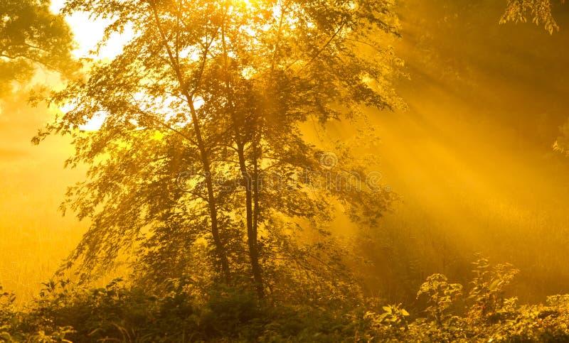 Árbol de arce con niebla fotografía de archivo
