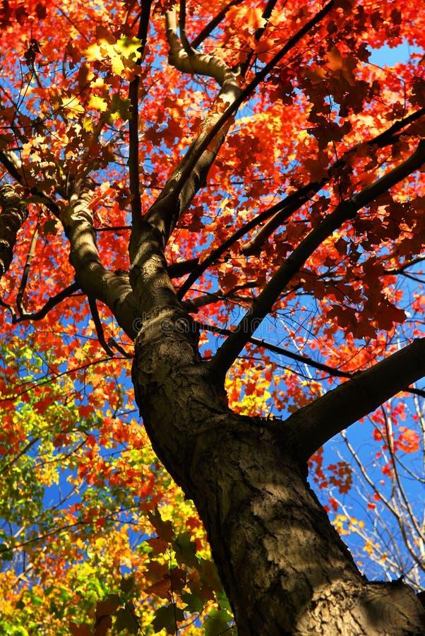 Árbol de arce del otoño imágenes de archivo libres de regalías