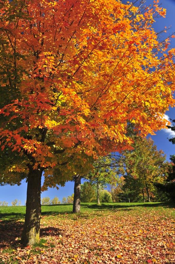 Árbol de arce del otoño fotografía de archivo libre de regalías