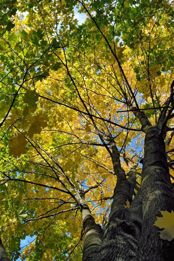 Árbol de arce en colores del otoño imagen de archivo libre de regalías