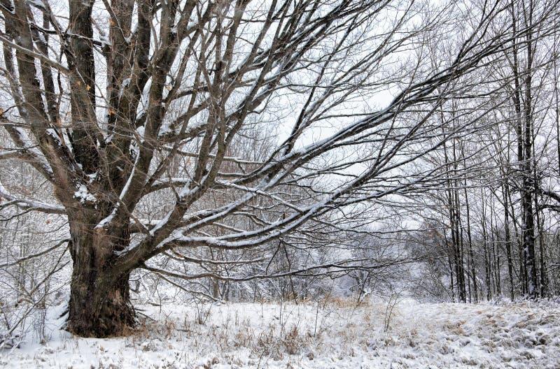 Árbol de arce en invierno imagen de archivo libre de regalías