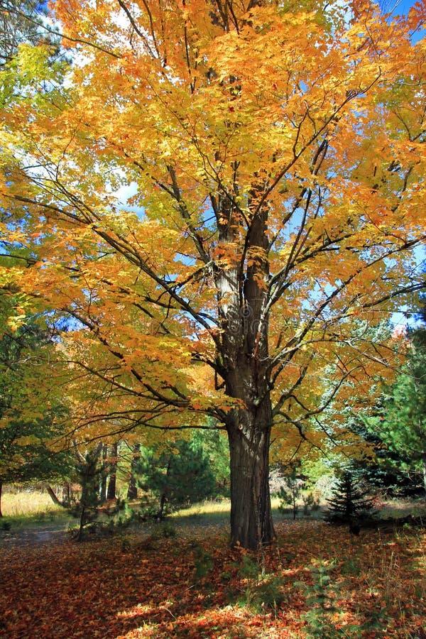 Árbol de arce en otoño imagen de archivo