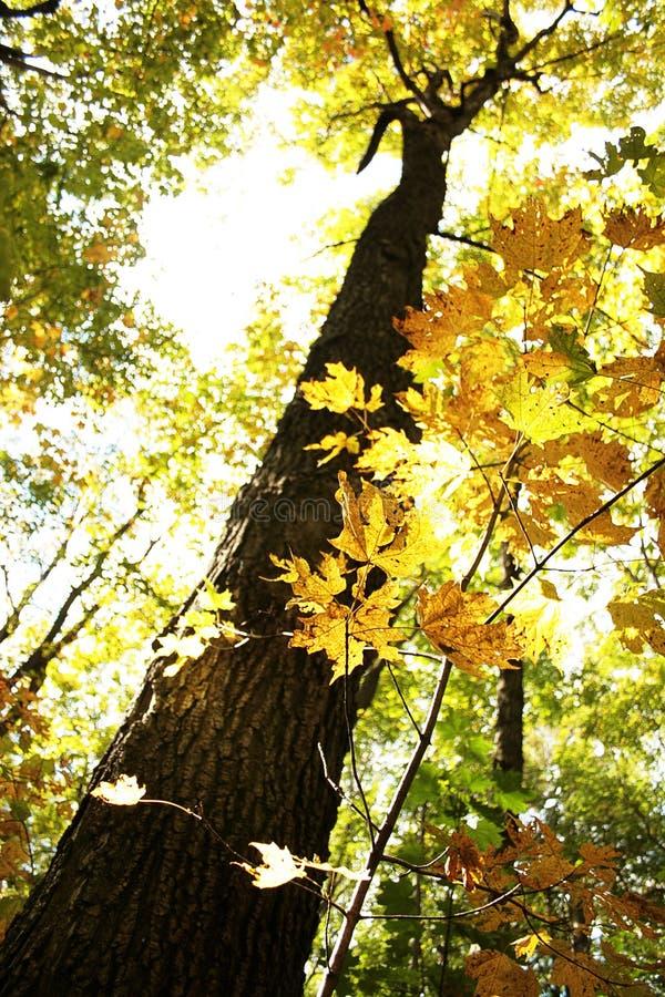 Árbol de arce en otoño imágenes de archivo libres de regalías