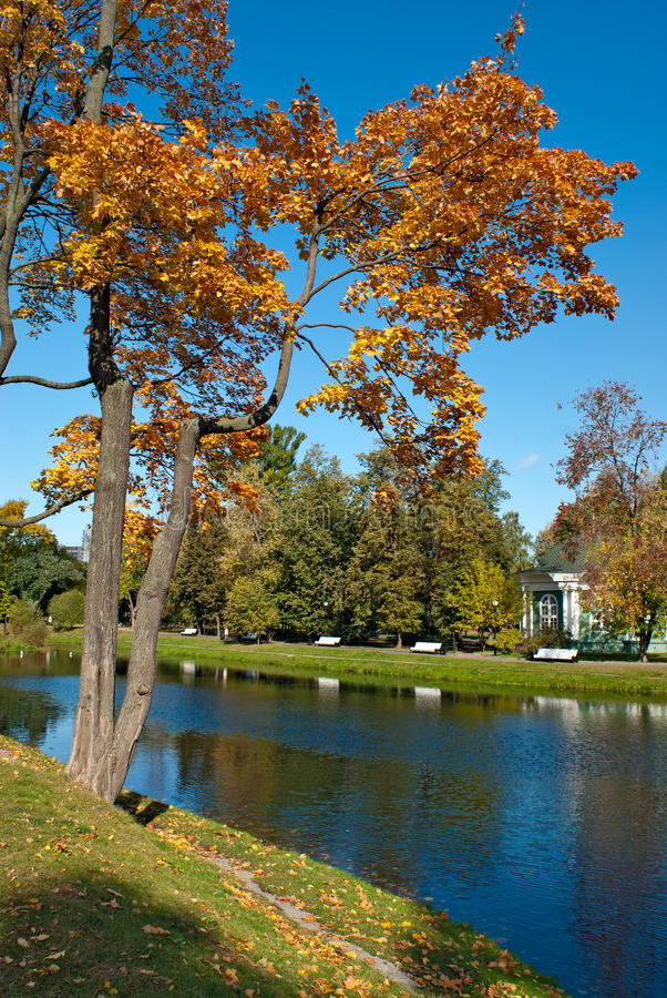 Árbol de arce en parque del otoño fotografía de archivo