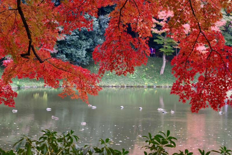 Árbol de arce rojo del jardín de Tokio de la estación del otoño fotos de archivo