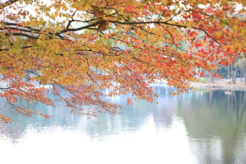 Árbol de arce rojo de oro del ADN de Autumn Yellow del follaje de otoño imagen de archivo