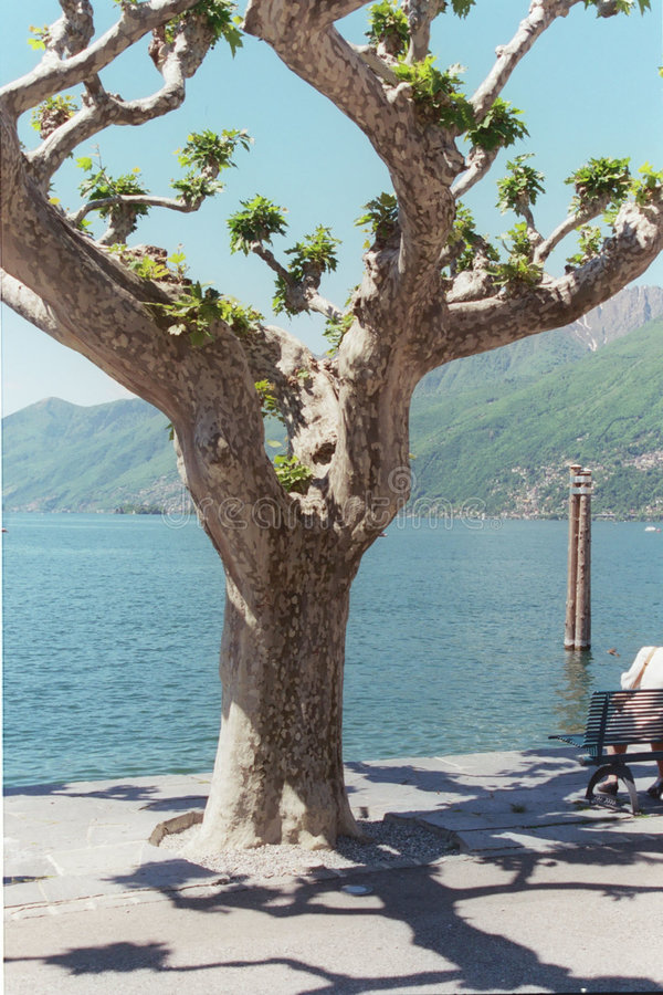 Árbol De Ascona Fotos de archivo