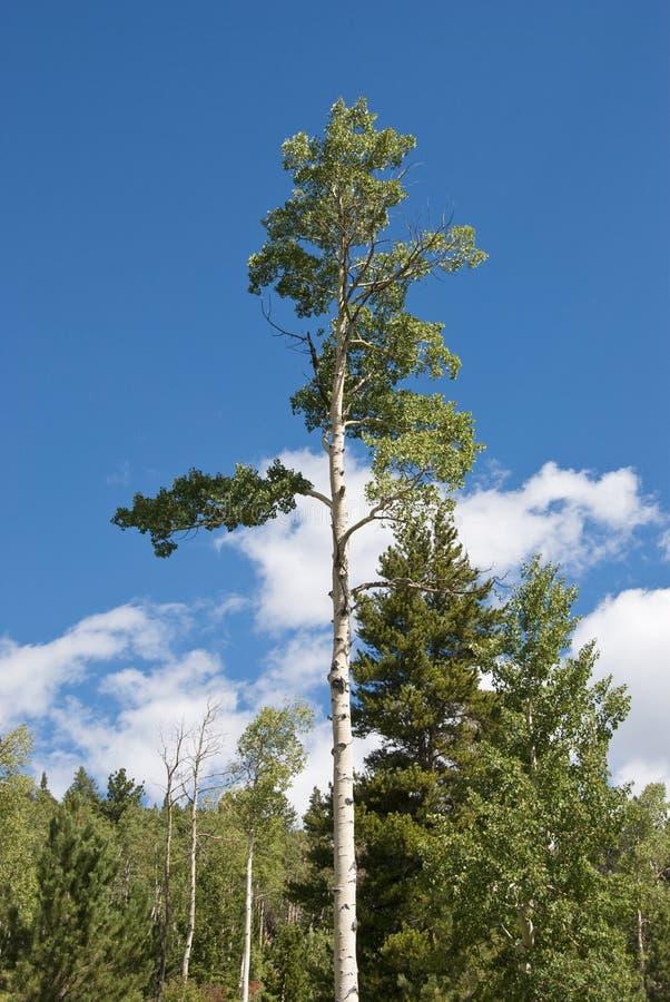 Árbol de Aspen que alcanza para el cielo fotografía de archivo libre de regalías