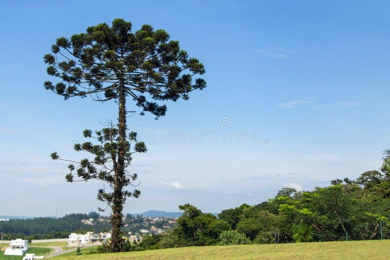 Árbol de Auracaria en el Brasil imagen de archivo