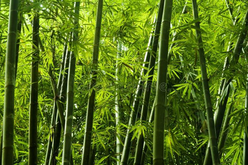 Árbol de bambú asiático foto de archivo