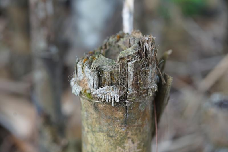 Árbol de bambú putrefacto imagenes de archivo