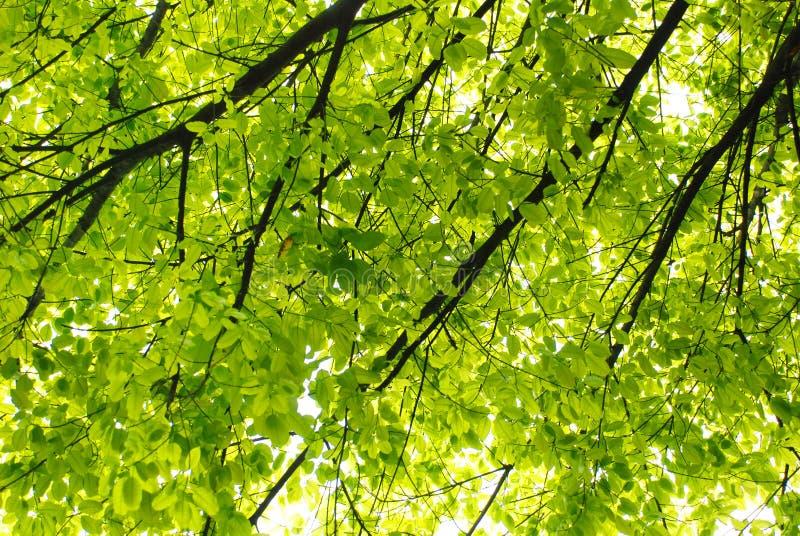 Árbol de banyan del resorte foto de archivo libre de regalías