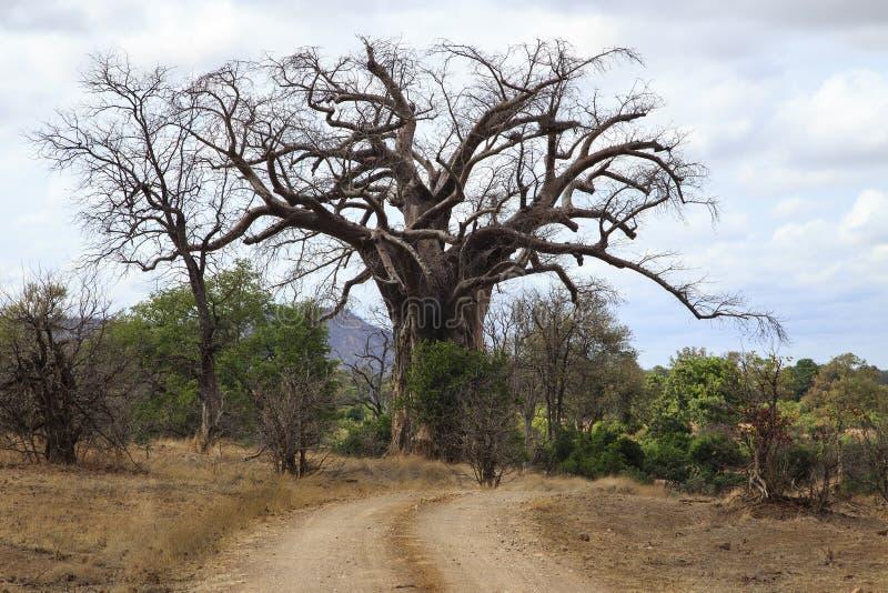 Árbol de Baoba fotografía de archivo libre de regalías