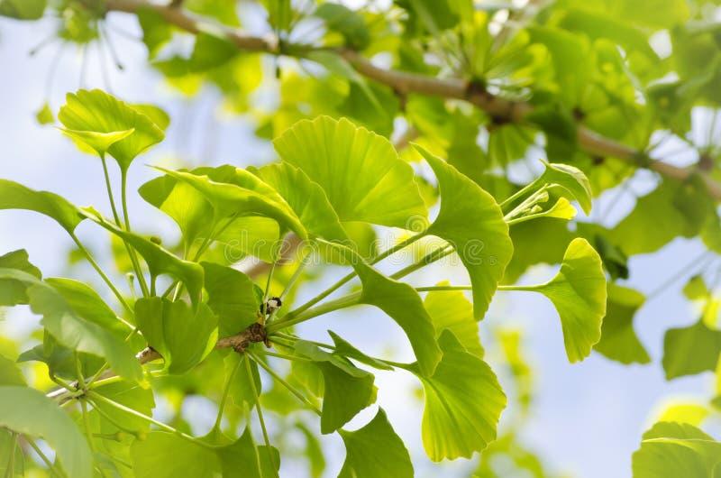 Árbol de Biloba del Ginkgo imagen de archivo
