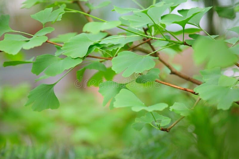 Árbol de Biloba del Ginkgo - hoja verde fotos de archivo libres de regalías