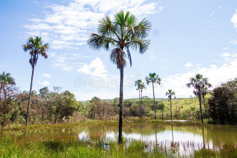 Árbol de Buriti en un lago foto de archivo libre de regalías