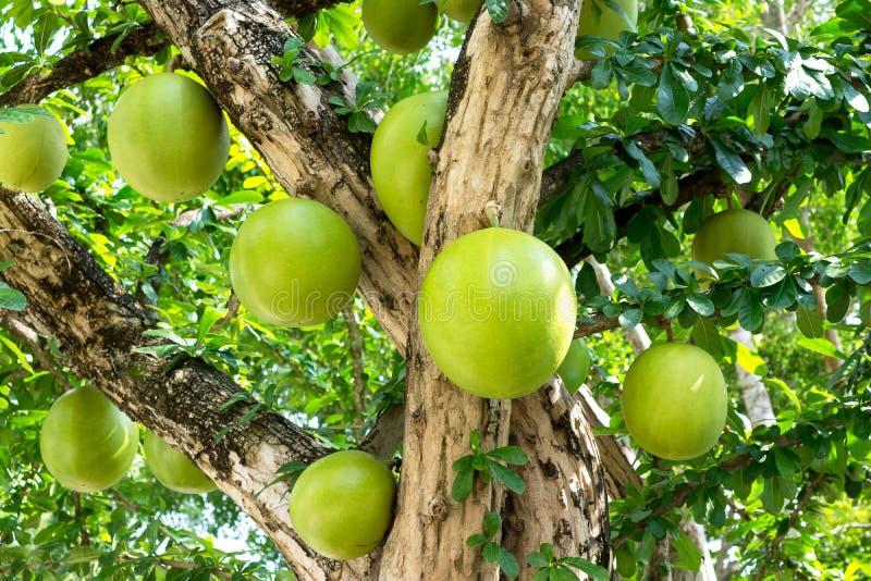Árbol de calabaza, planta del árbol del cujete del Crescentia foto de archivo libre de regalías