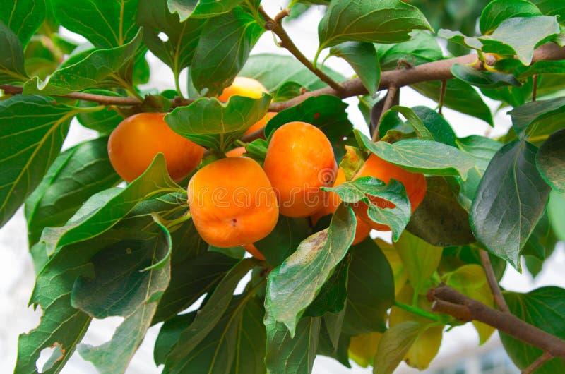 Árbol de caqui y naranja brillante fotos de archivo