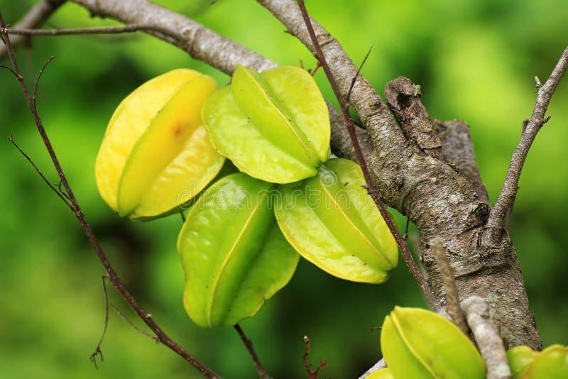 Árbol de Carambola con las frutas fotografía de archivo