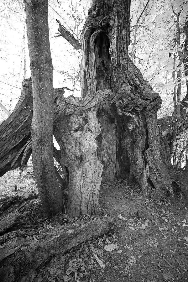 Árbol de castaña antiguo en blanco y negro imagenes de archivo