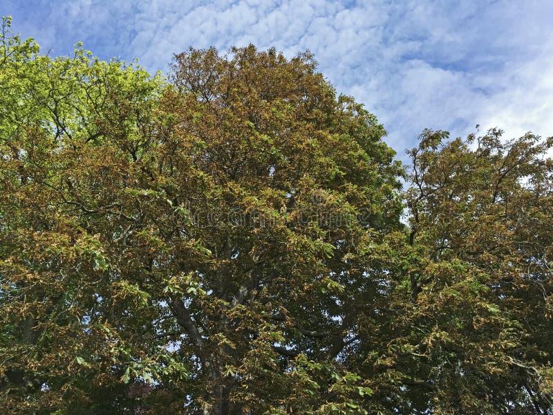 Árbol de castaña chamuscado de caballo fotografía de archivo