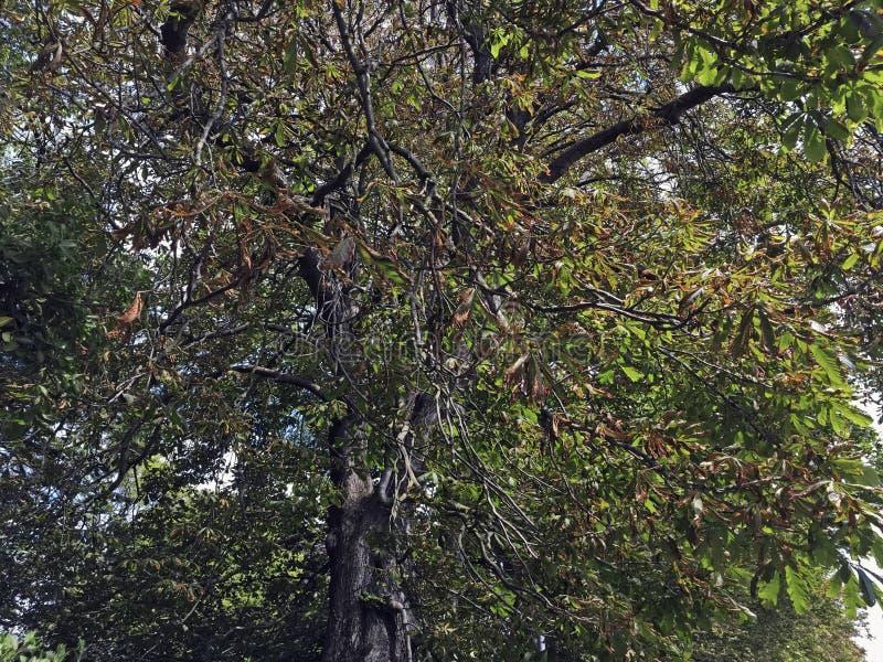 Árbol de castaña chamuscado de caballo imagen de archivo