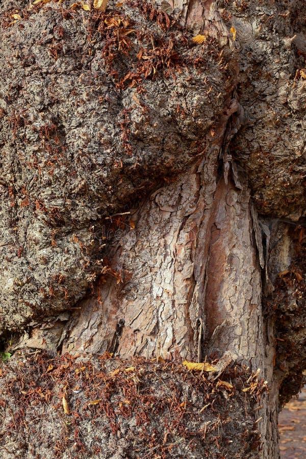 Árbol de castaña de caballo con las rebabas en el tronco, Oxford, Inglaterra foto de archivo libre de regalías