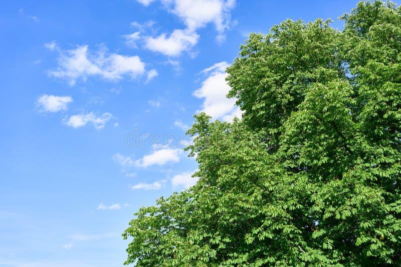 Árbol de castaña delante del cielo en verano imagenes de archivo