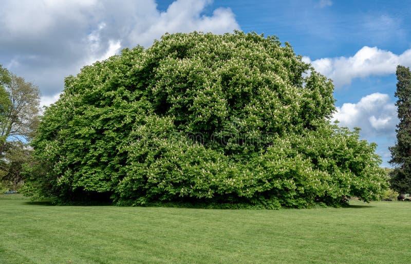 Árbol de castaña floreciente de caballo en jardín fotografía de archivo libre de regalías