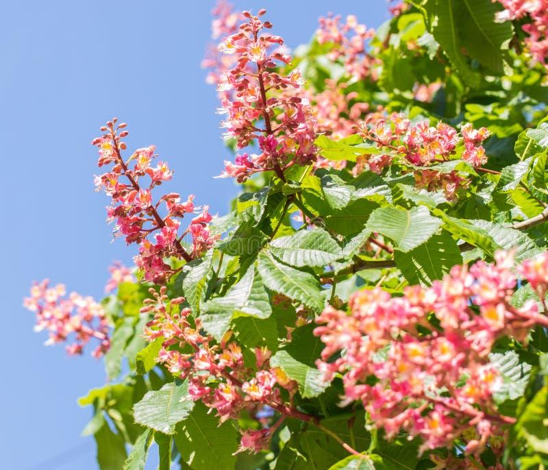 Árbol de castaña, flores florecientes de la castaña en la flor de la primavera, roja o rosada de la castaña fotografía de archivo libre de regalías
