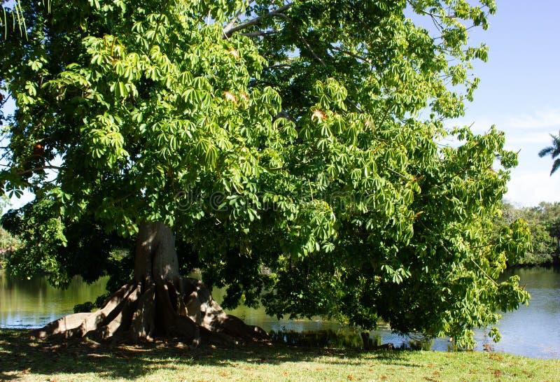 Árbol de castaña de Malabar en la Florida fotos de archivo
