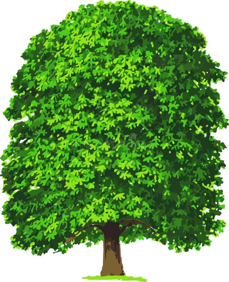 Árbol de castaña. Vector ilustración del vector
