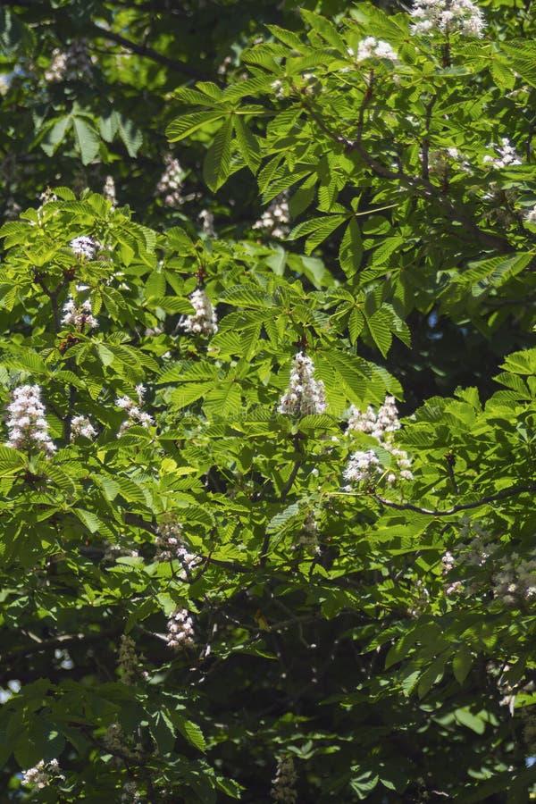 Árbol de castañas floreciente hermoso en comienzo del verano foto de archivo libre de regalías