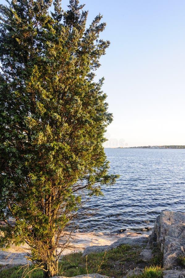 Árbol de cedro en peñasco rocoso imagen de archivo