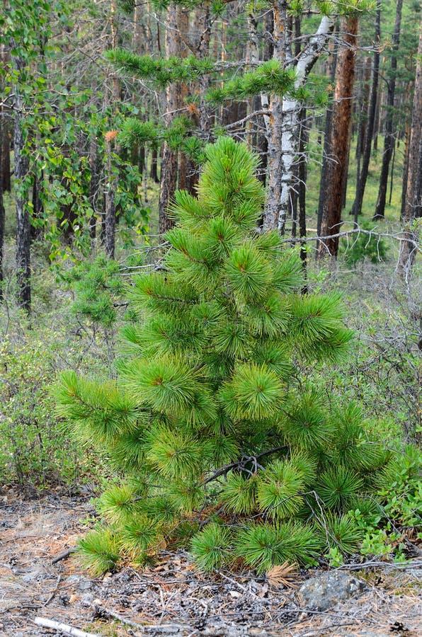 Árbol de cedro joven con las ramas needled mullidas fotos de archivo libres de regalías