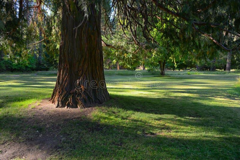 Árbol de cedro rojo fotografía de archivo