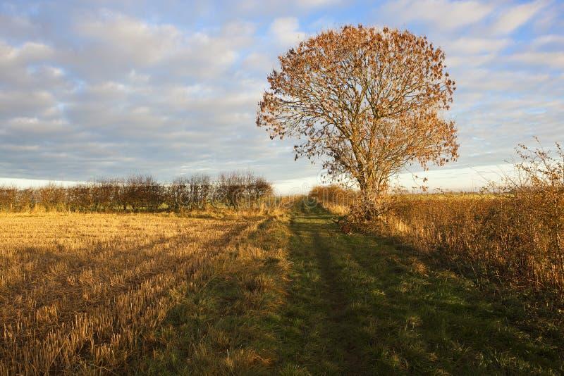 Árbol de ceniza del otoño foto de archivo