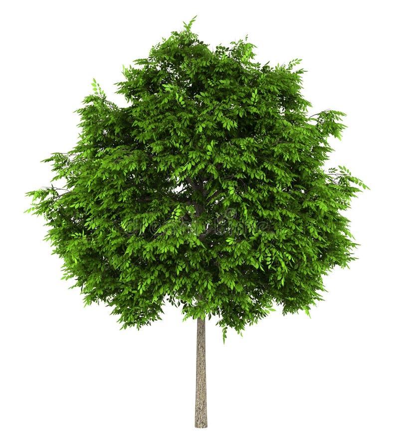 Árbol de ceniza europea aislado en blanco libre illustration