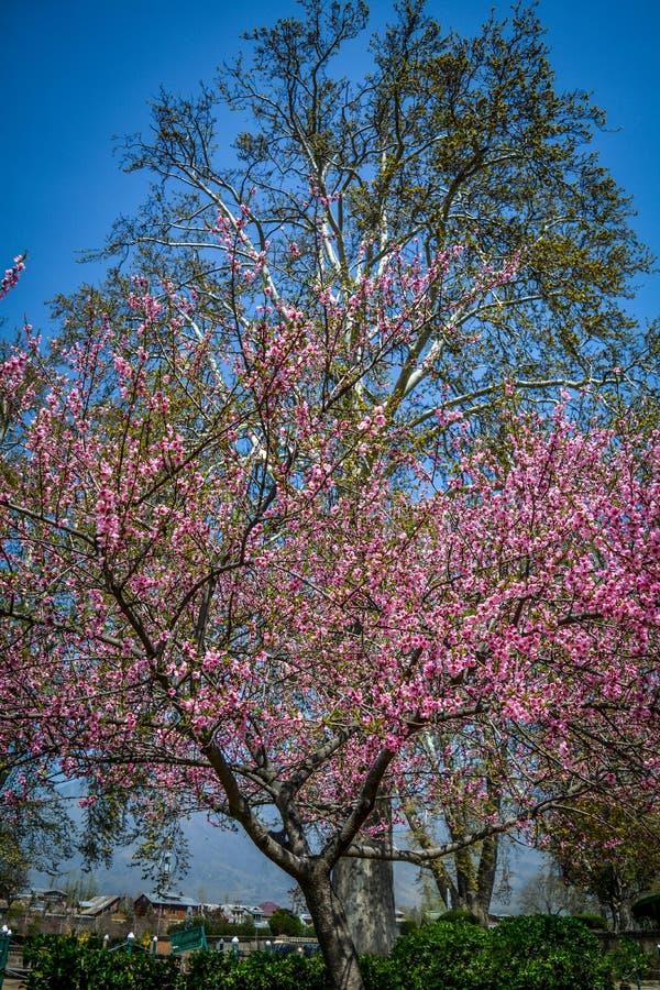 Árbol de cereza y árbol Chinar, Jardín Shalimar, Srinagar, India imágenes de archivo libres de regalías