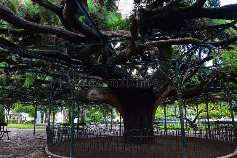 Árbol de ciprés grande en el jardín de Principe real en Lisboa, Por imagenes de archivo